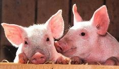 '건강한 돼지'는 다이어트의 시작이다?!